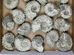 Wholesale: 5Kg Bumpy Ammonite (Douvilleiceras) Fossils - 23 pieces - #103222-2